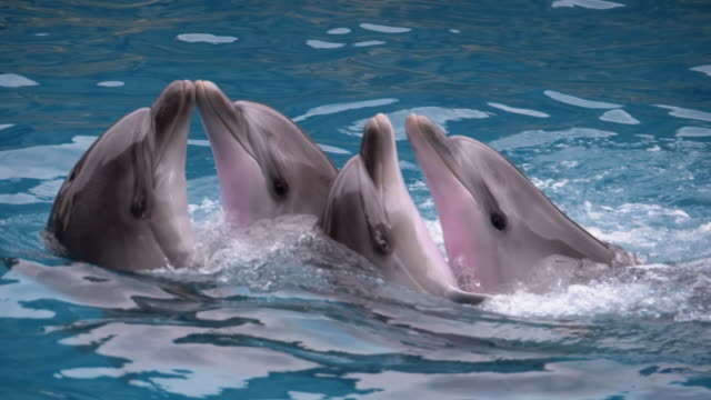 Dolphins are Dancing in Dolphinarium in the Pool. Dolphin show. Slow Motion Dolphins are Dancing in Dolphinarium in the Pool. Funny Dolphins Playing in the Water. Bottlenose. Dolphin show. Slow Motion in 180 fps. dolphin stock videos & royalty-free footage
