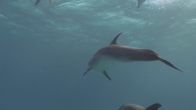 Dolphins swimming in front of the camera [HD] video