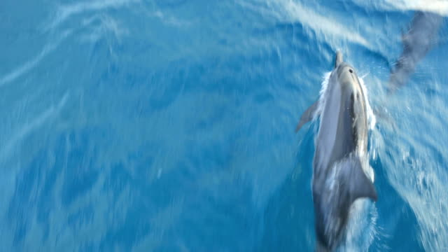 Dolphins swimming near the moving boat, Maldives video