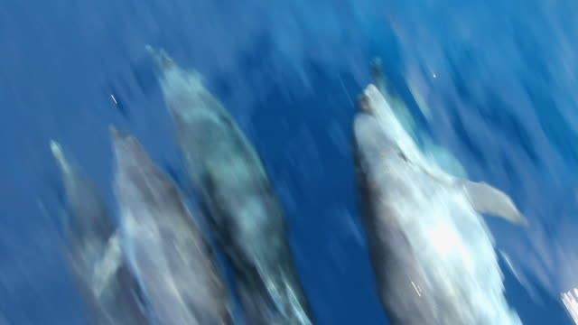 Dolphin's swimming. Playing and speeding in front of the boat. dolphin stock videos & royalty-free footage