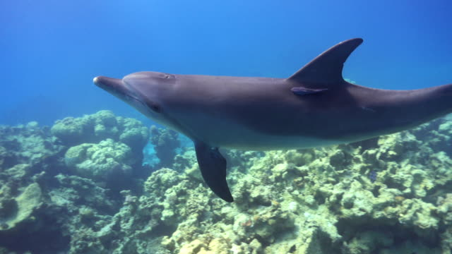 Dolphins Swims Near Divers Dolphins Swims Near Divers, underwater scene dolphin stock videos & royalty-free footage