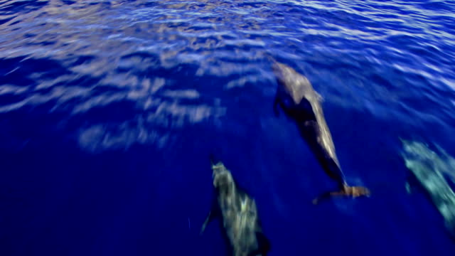 Dolphins Dolphins playing in front of the boat dolphin stock videos & royalty-free footage