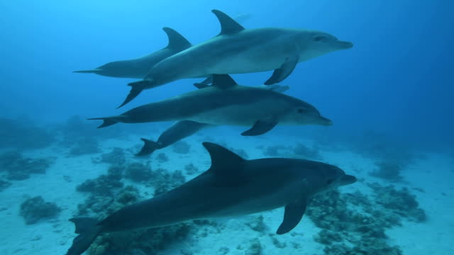 Dolphins Playing dolphins in the Red Sea. dolphin stock videos & royalty-free footage
