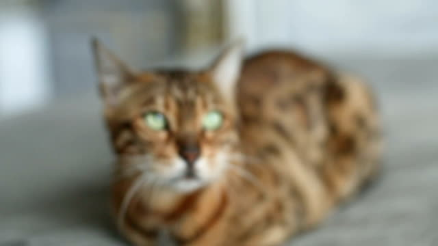Domestic Bengal Cat Laying video