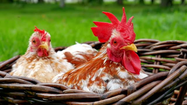 stockvideo's en b-roll-footage met nationale vogel. - vrouwtjesdier