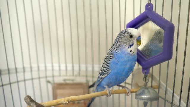inhemska bur blå undulat papegoja - bur bildbanksvideor och videomaterial från bakom kulisserna