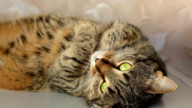Domestic Cat during resting Tabby Cat during resting tabby cat stock videos & royalty-free footage