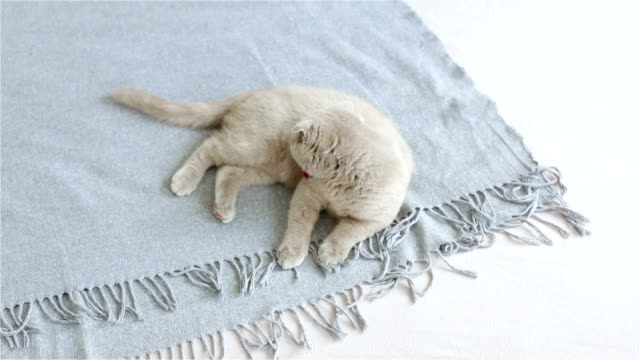 Domestic cat lies on the background Scottish fold cat, white background, domestic cat, animal animal body stock videos & royalty-free footage