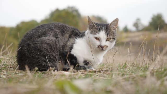 vídeos de stock e filmes b-roll de domestic cat relaxing in the grass and hay slow motion - berma da estrada
