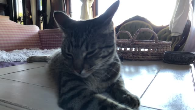 Domestic cat resting on a table video