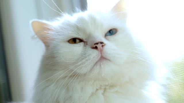 完全な虹彩異色症と猫。異なる色の目の白猫はウィンドウで座っています。 - ネコ科点の映像素材/bロール