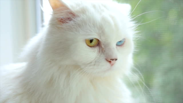 domestic cat with complete heterochromia. white cat with different colored eyes is sitting by the window. - baffo parte del corpo animale video stock e b–roll