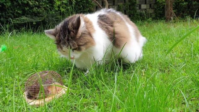 vidéos et rushes de chat domestique avec la souris dans la souricière - prise avec un appareil mobile