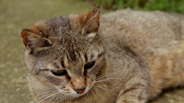 domestic cat,close up - kemirgen stok videoları ve detay görüntü çekimi