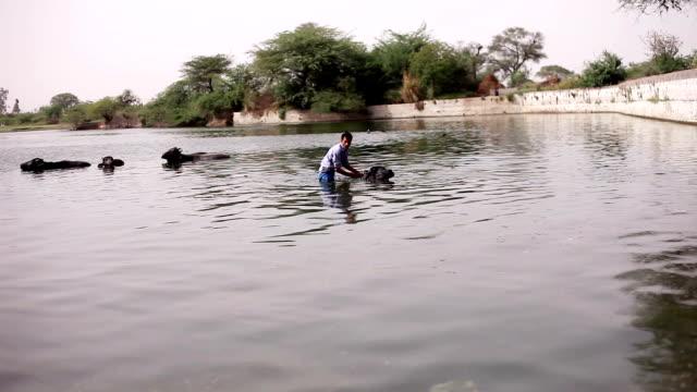 Domestic cattle taking bath in pond near village