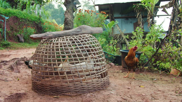 Domestic chickens are raised in chicken coops. to be used as food in rural villages in Thailand.4K Slow motion.