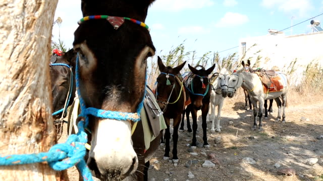 domestic donkeys standing in row tied up with rope, local means of transport - grecia stato video stock e b–roll