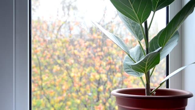 domestic ficus plant on windowsill after rain - davanzale video stock e b–roll