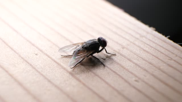 Domestic Fly In Detail
