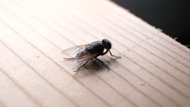 ayrıntılı yerli sinek - sinek stok videoları ve detay görüntü çekimi