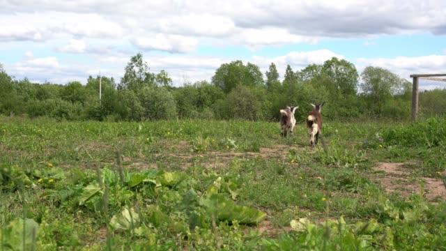緑の牧草地で放牧する国内ヤギ ビデオ