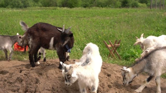 砂と緑の牧草地で放牧国内のヤギ ビデオ