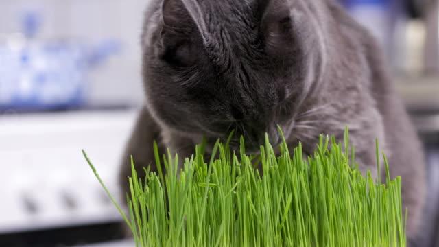 国内の灰色の猫が家庭で新たに育てられた緑の草を食う - ネコ科点の映像素材/bロール