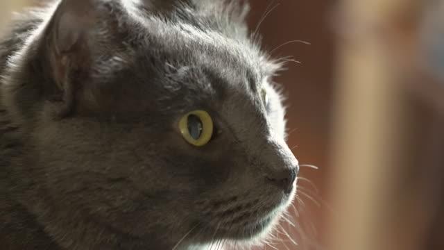 inhemsk grå katt tittar ut genom fönstret katt huvudet närbild. - katt inomhus bildbanksvideor och videomaterial från bakom kulisserna