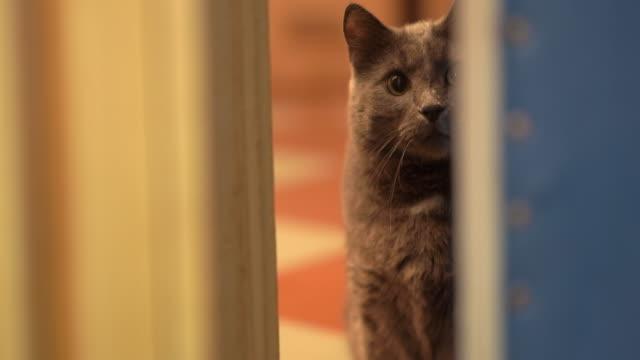 inhemsk grå katt ser ut genom dörröppningen med ögon vidöppna springer in i rummet - katt inomhus bildbanksvideor och videomaterial från bakom kulisserna