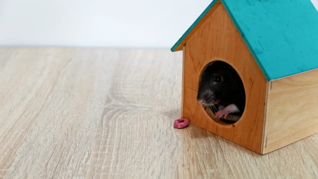 domestic gray rat in a wooden house video