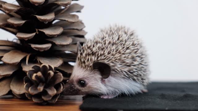 Domestic hedgehog.