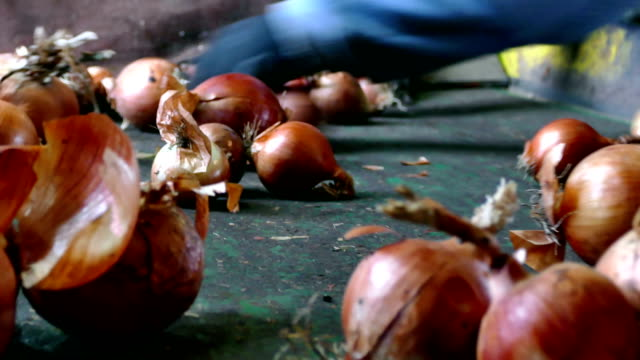 Domestic Onion Healthy and Natural Vegetables Workers on the conveyor belt select  of the domestic red onion red onions stock videos & royalty-free footage