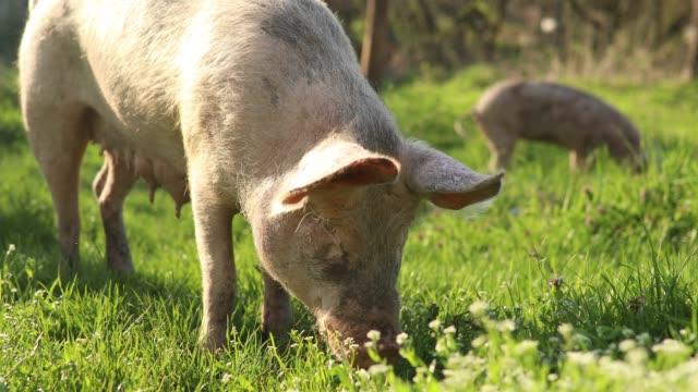 hausschweine, essen in der natur - schwein stock-videos und b-roll-filmmaterial