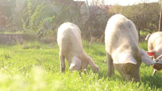 Domestic pigs eating in nature