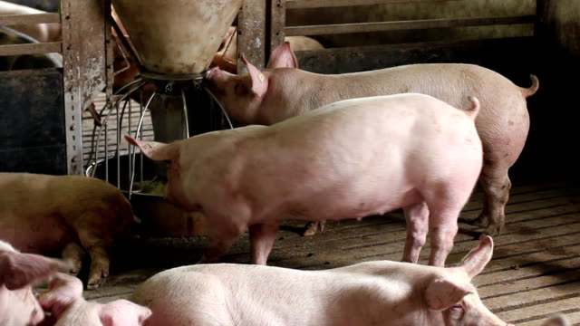 Domestic pigs video
