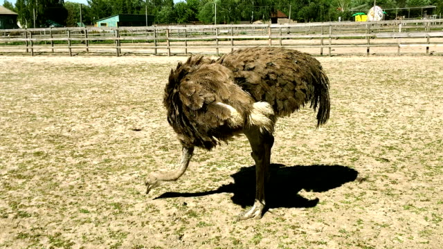 Domesticated wild african ostrich (struthio camelus) pecks food in an aviary on a ostrich farm. Domesticated wild african ostrich (struthio camelus) pecks food in an aviary on a ostrich farm. Wild ostriches on a bird farm. prison bars stock videos & royalty-free footage