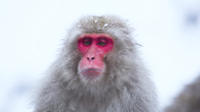 Dominant Male Japanese Macaque shakes off ice frozen to his fur. Slow motion. RED Camera. Snow monkey Japan. Dominant Male Japanese Macaque shakes off ice frozen to his fur. Slow motion. RED Camera. Snow monkey Japan. japanese macaque stock videos & royalty-free footage