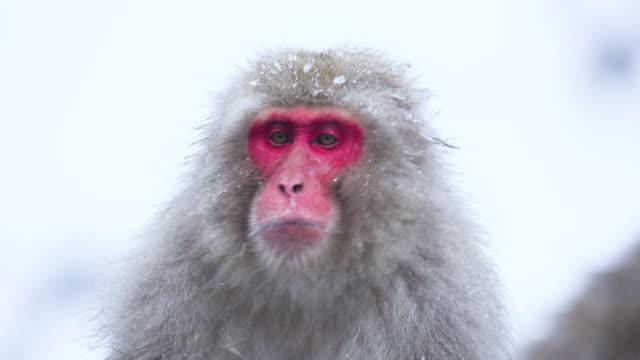 baskın erkek japon makak onun kürk dondurulmuş buz kapalı sallar. yavaş çekim. kirmizi kamera. kar maymunu japonya. - japon makak maymunu stok videoları ve detay görüntü çekimi