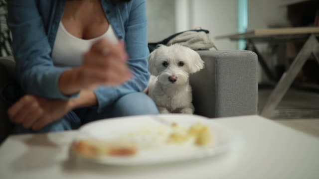 Don't be selfish human Cute fluffy dog getting  hungry while watching his owner eating desire stock videos & royalty-free footage