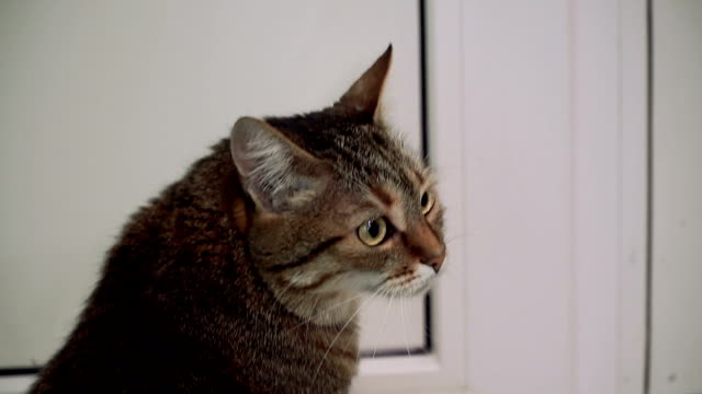 Door. The cat is waiting near the closed door Door. The cat is waiting near the closed door tabby cat stock videos & royalty-free footage