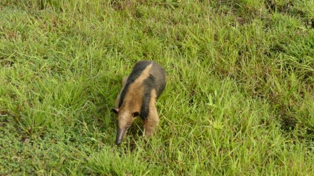 doppelaufnahme von nördlichen tamandua zu fuß in richtung kamera in sichtweite - ameisenbär stock-videos und b-roll-filmmaterial