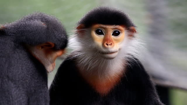 Douc Langur, Pygathrix Nemaeus video