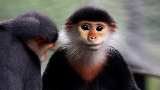 vídeos de stock, filmes e b-roll de macaco red, pygathrix nemaeus - macaco