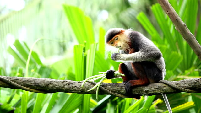 douc langur video
