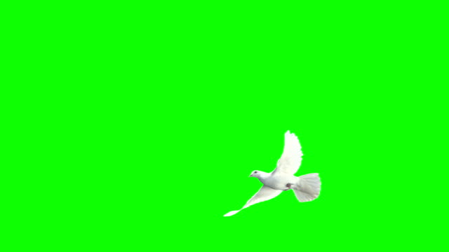 Dove Crossing Frame Over Chroma Key (Super Slow Motion) video