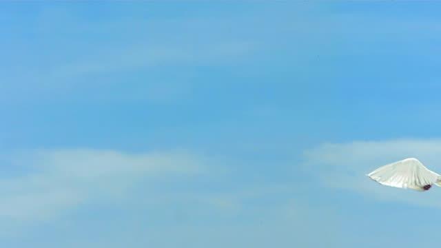 colomba volando su sky (super rallentatore) - colomba video stock e b–roll