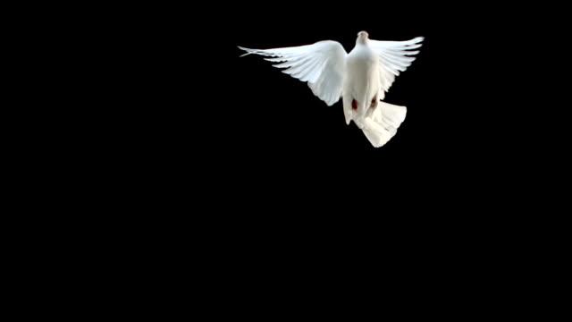 colomba volando su sfondo nero - colomba video stock e b–roll