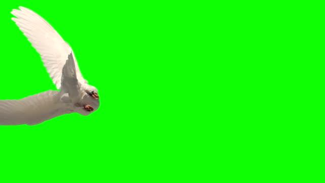 colomba volando su sfondo schermo verde - colomba video stock e b–roll