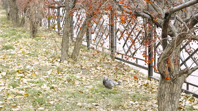 Dove hits down berries from crab apple tree and seeking it on ground, birds feeding on fruit of tree crops in autumn