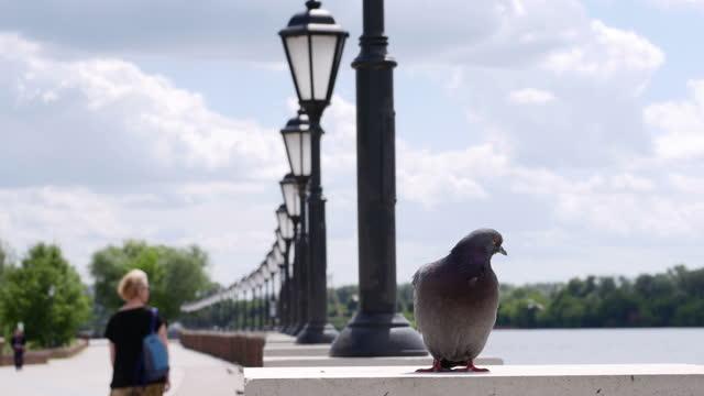 Dove in a public park. video